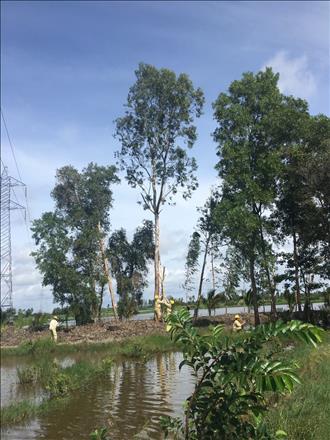 Đội Truyền tải điện Bạc Liêu thực hiện công tác phát quang cây cao trong và ngoài hành lang an toàn lưới điện cao áp.